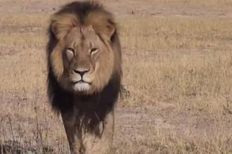 """Saul, Heather. """"Cecil the Lion: Ricky Gervais and Cara Delevingne Lead Outpouring of Anger after Trophy Hunter Is Identified as Walter Palmer."""" The Independent. Independent Digital News and Media, 29 July 2015. Web. 01 Aug. 2015."""